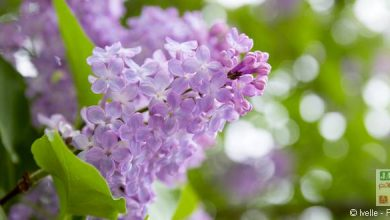 Photo of Comment aider un lilas qui végète ?
