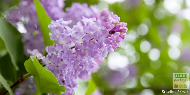 lilas fleurit pas