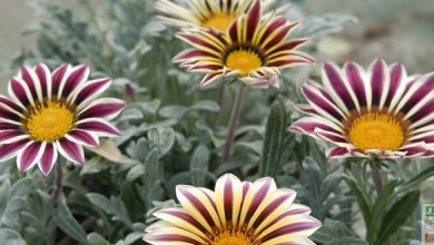 Photo of Splendide, le Gazania !