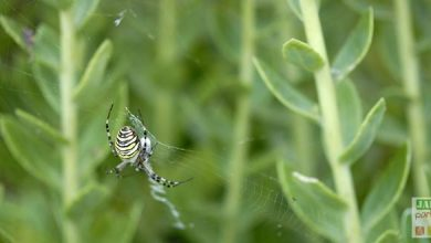 Photo of L'argiope frelon, Argiope bruennichi