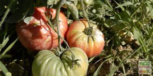 tomate portugaise photo
