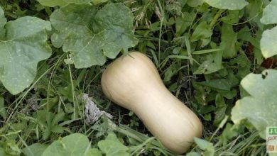Photo of Délicieuse « butternut »