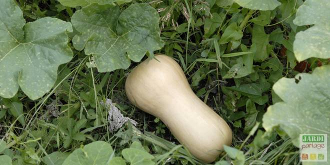 planter courge butternut