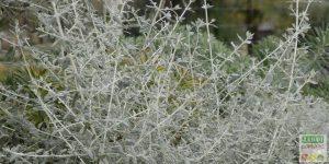 germandree arbustive