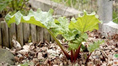 Photo de Comment diviser et replanter la rhubarbe ?