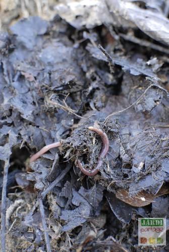 vers epiges compost