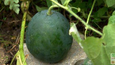 Photo of La pastèque: une cucurbitacée chargée d'histoire