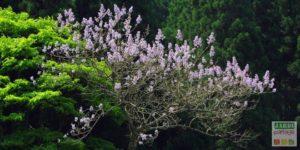 Paulownia tomentosa arbre