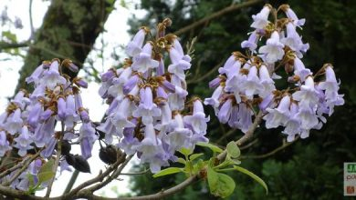 Photo of Quel est cet arbre ? Un Paulownia !