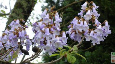 paulownia imperialis arbre