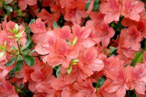 azalee rouge