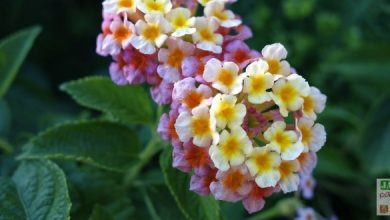Photo of Les mille fleurs du Lantana