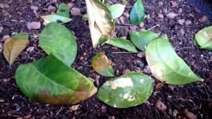 brulures feuilles citronnier