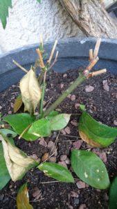 feuilles citronnier seches