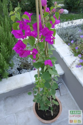 planter bougainvillier en pot