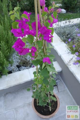 planter bougainvillier en pot