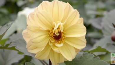 Photo of Histoire du Dahlia