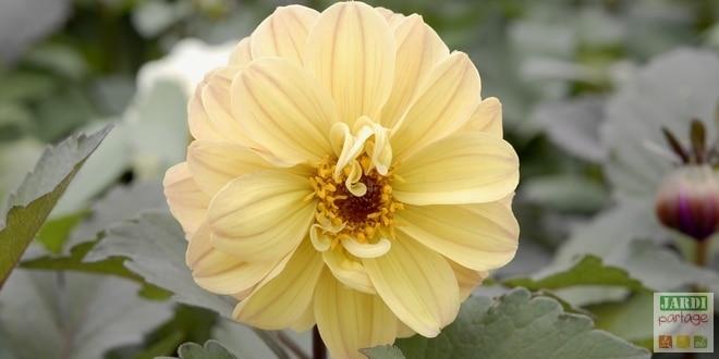 dahlia-diablotin-fleur