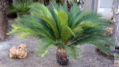 cycas-revoluta-taille