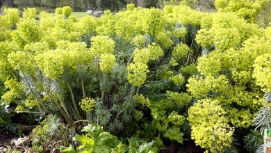 Photo de L'euphorbe characias, pour massif sec