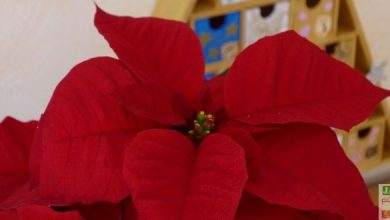 Photo of Des mini Poinsettias pour une couronne de l'Avent DIY