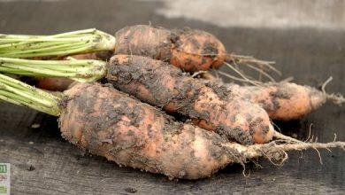Photo of Réussir la culture de la carotte en 8 conseils