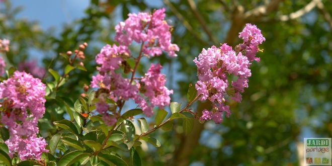 Taille lilas des indes