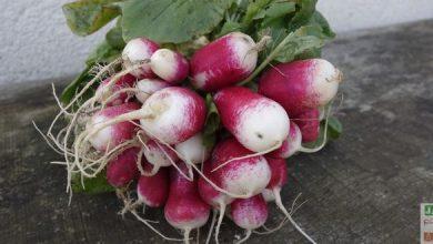 Photo of La culture des radis en 8 conseils