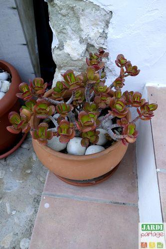 Crassula ovata dans pot en terre cuite