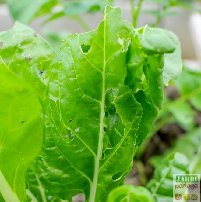blettes feuilles trouees