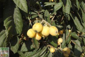 neflier du japon fruits