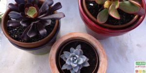 rempoter plante grasse