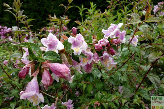 abelia grandiflora floraison