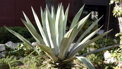 Photo of Cultiver un agave américain