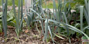 cultiver des poireaux