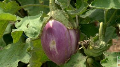 Photo of Culture des aubergines