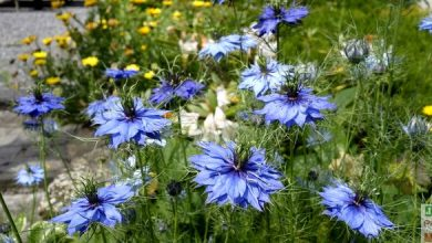 Photo of Nigelle de Damas: l'annuelle romantique