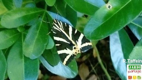 Papillon écaille chinée