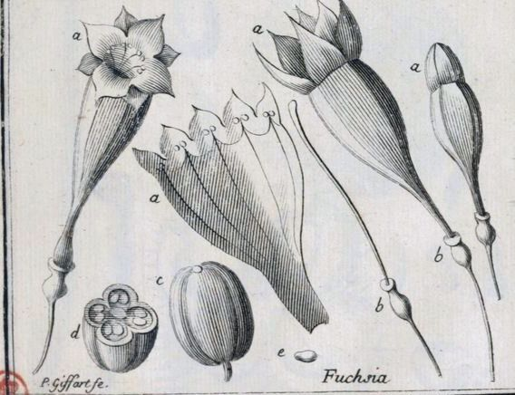 charles plumier fuchsia
