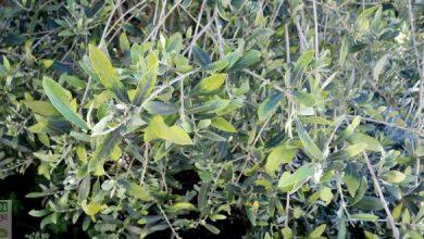 maladie de olivier feuilles jaunes