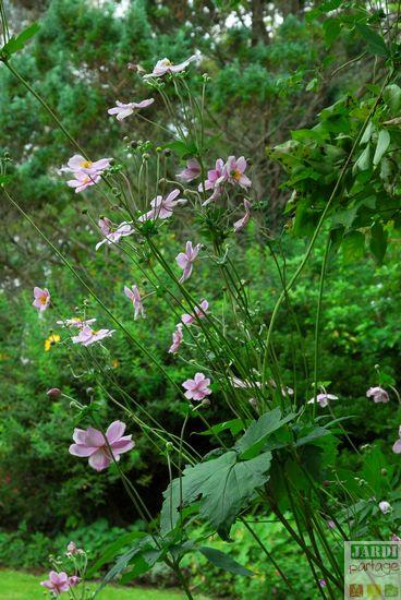 anemone du japon association