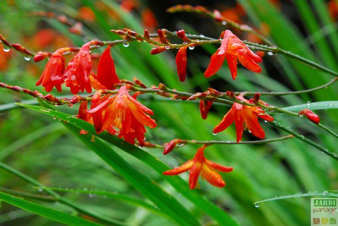 fleur crocosmia