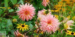 Dahlia decoratif rose