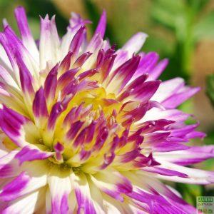 fleur dahlia omega veritable