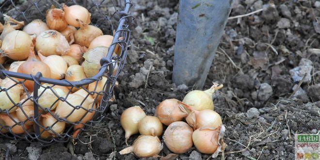 planter des oignons