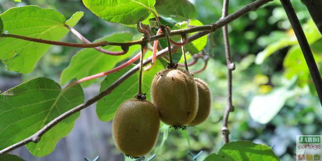 recolte kiwi