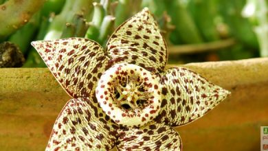 Photo of Stapelia variegata: entretien, floraison