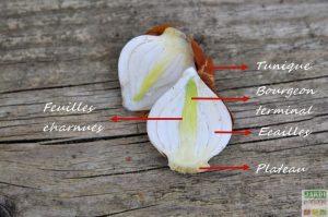 Bulbe tulipe definition