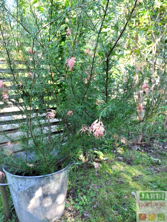 grevillea juniperina taille