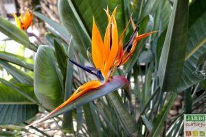 oiseau du paradis floraison